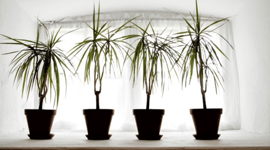 large indoor plants in pots near a curtained window