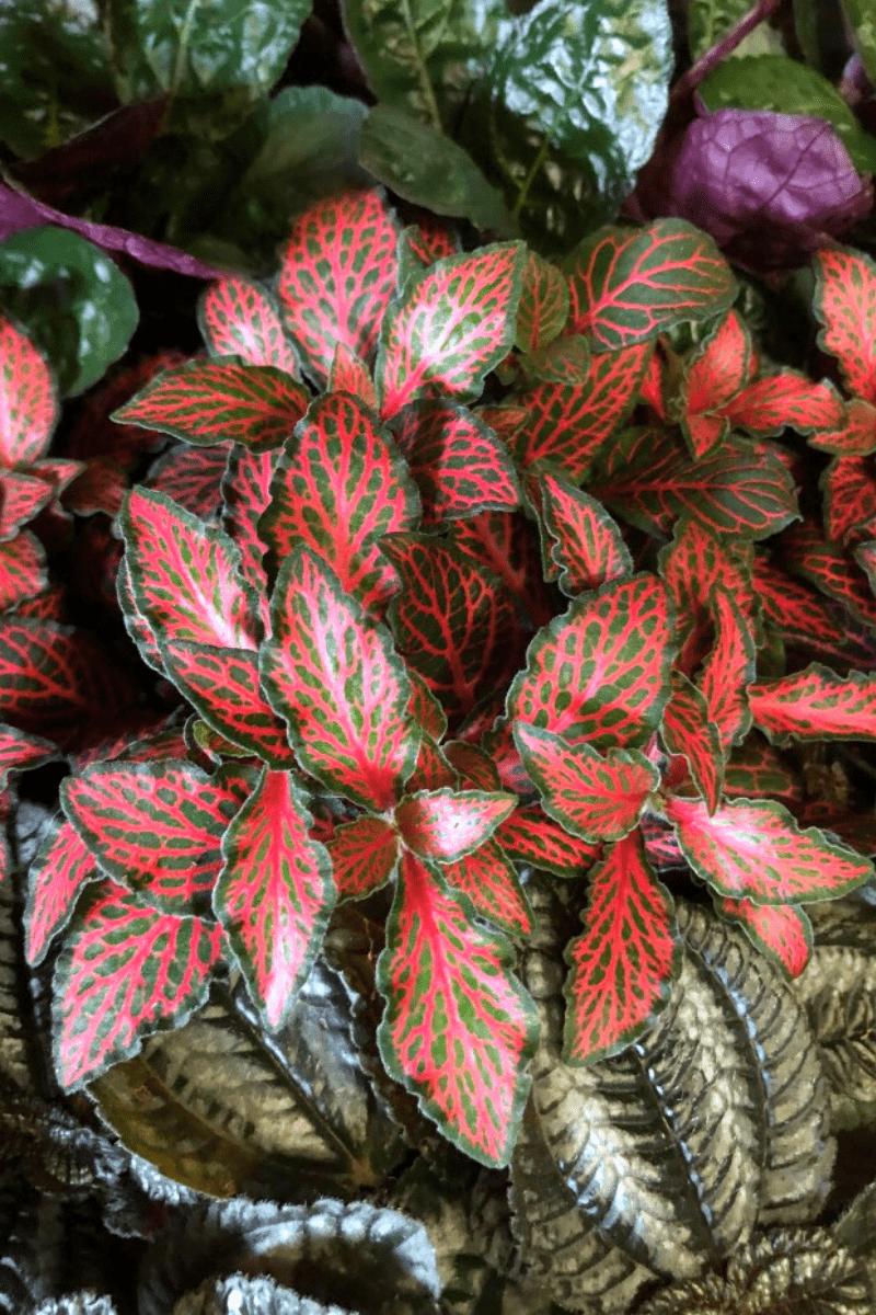 nerve plant fittonia varieties closeup of juanita