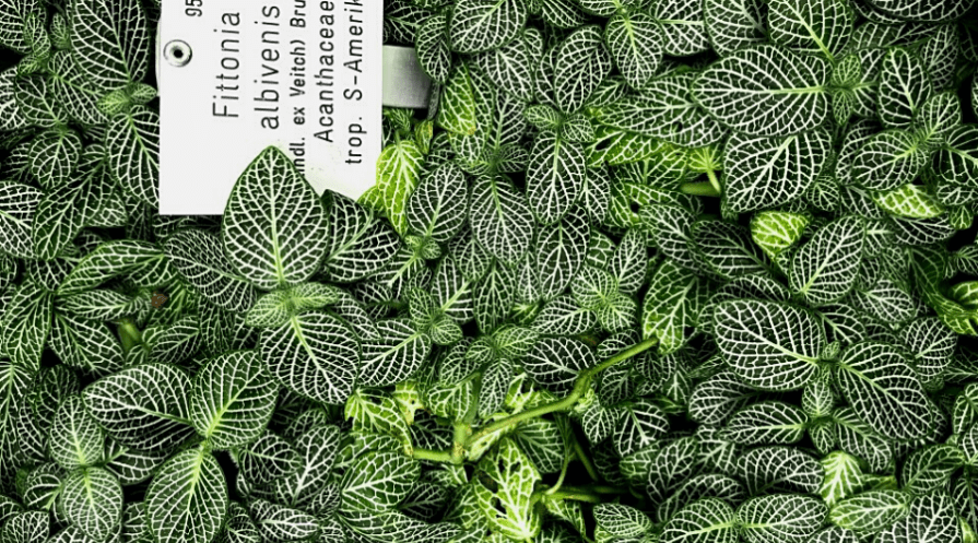 fittonia nerve plant closeup labeled