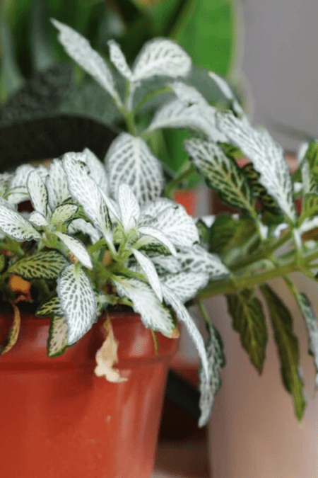 healthy fittonia white nerve plants in pots indoors thriving houseplants
