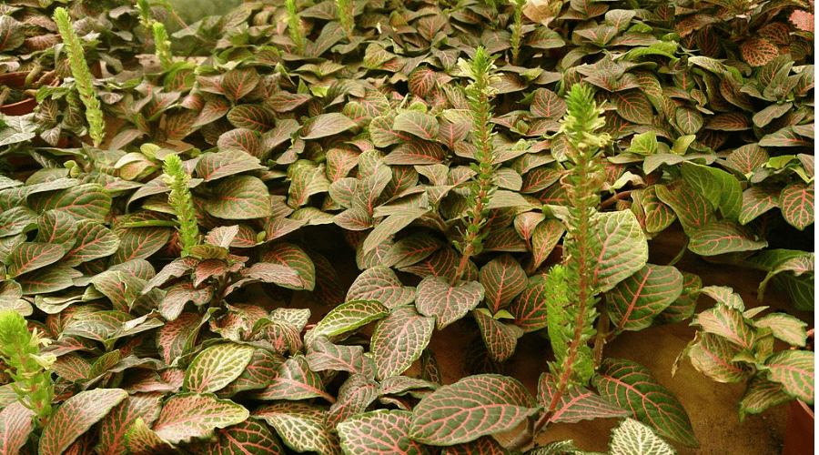 grow nerve plants outdoor as creeping cover plant with flowers