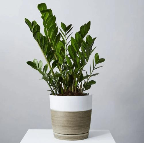 Buy ZZ Floor Plant at Plants.com