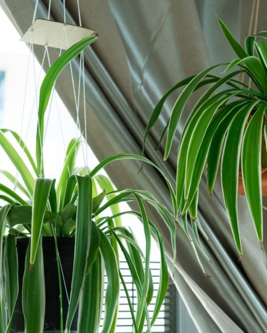 spider plants hanging indoors near a curtained window