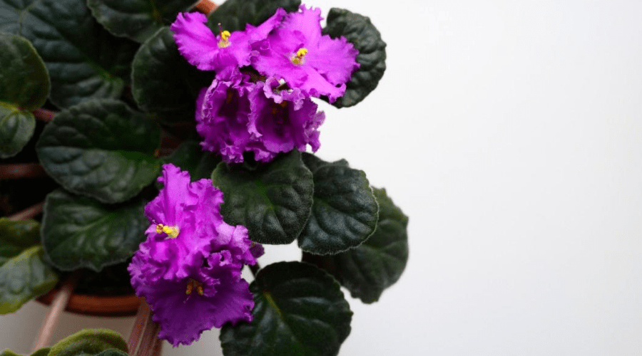 an african violet blooming indoors in planter closeup