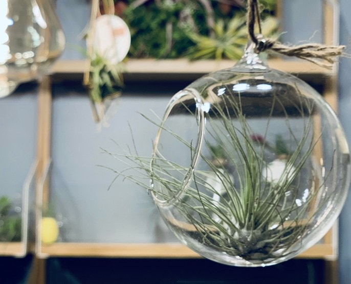 air plant in glass terrarium indoor plant easy care