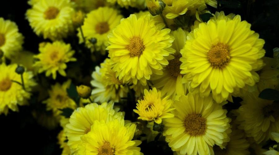 blooming yellow Barberton daisies indoors