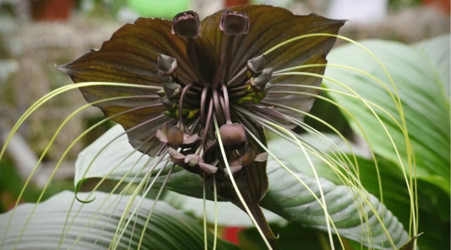 black bat lily flower