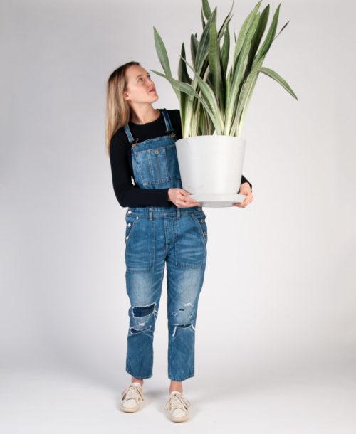 Girl Holding a Sansevieria Sayuri Plant
