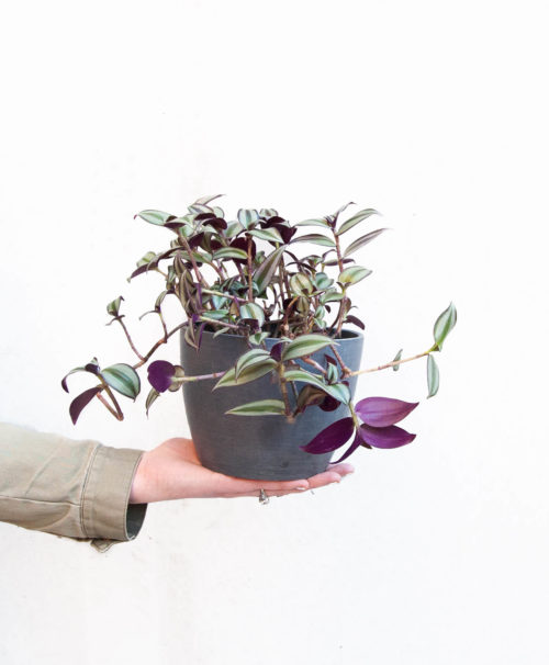 8-14 tall (including recycled plastic Ecopot), will trail