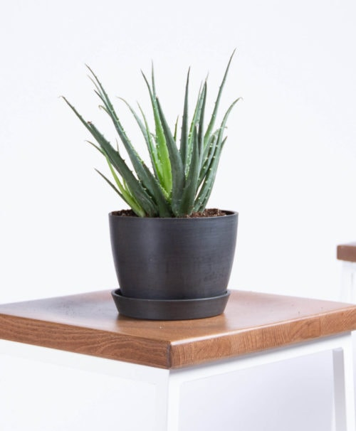 """10""""-16"""" tall (including recycled plastic Ecopot)"""