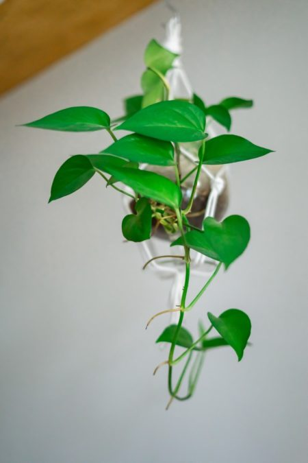 indoor houseplant philodendron in hanging planter from below