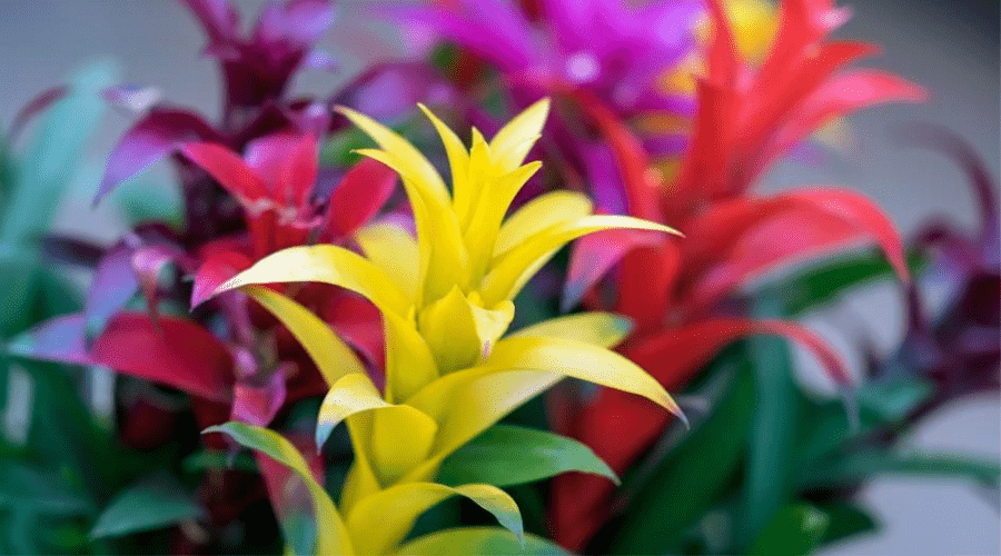 the bromeliad or pineapple family, exotic beauty, leader in the design of home and office interiors