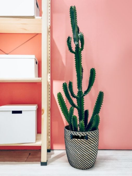 tall indoor cactus potted in home office