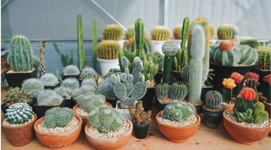 desert cacti on table indoors in various planters