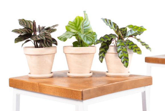 Buy Calathea Collection at Bloomscape