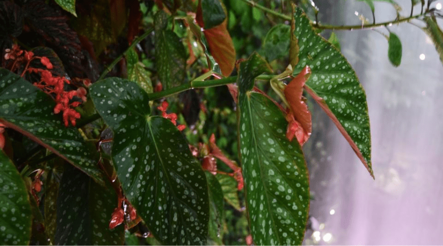tropical cane begonia with dotted foliage and red flowers near waterfall in Singapore