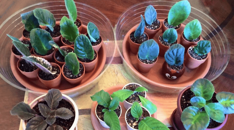 african violets propagating new plants indoors