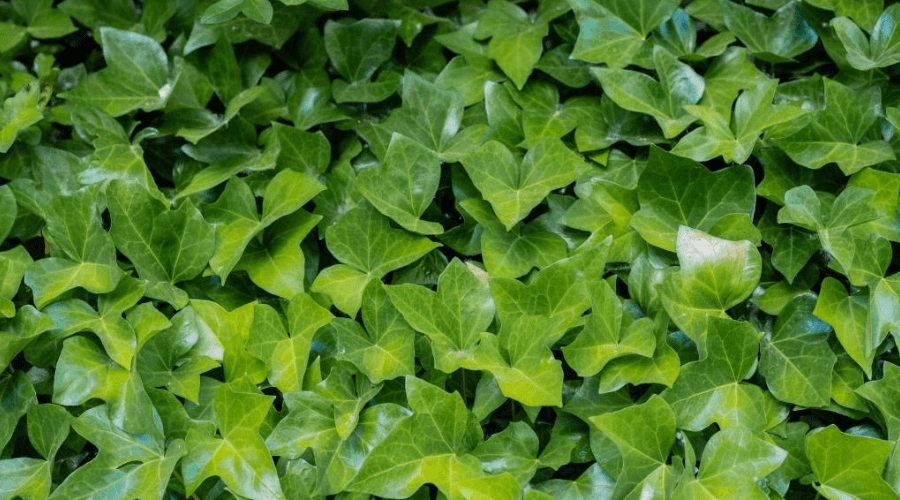 outdoors english ivy carpet plant care guide