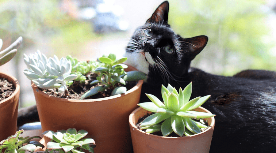 a tuxedo cat lying ina windowsill with potted succulents