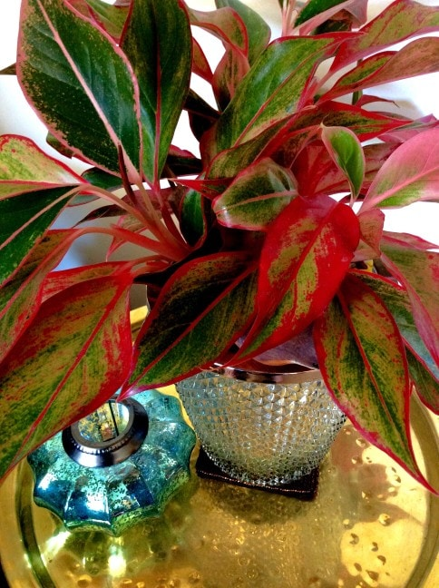 variegated chinese evergreen air purifying houseplant on table indoors