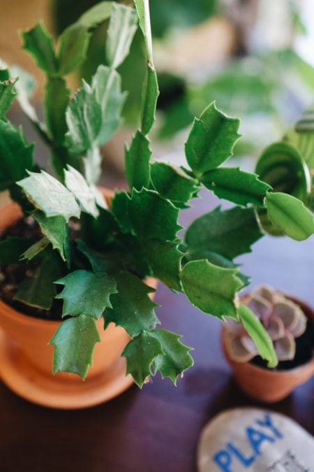 christmas cactus indoor flowering plant in pot on table