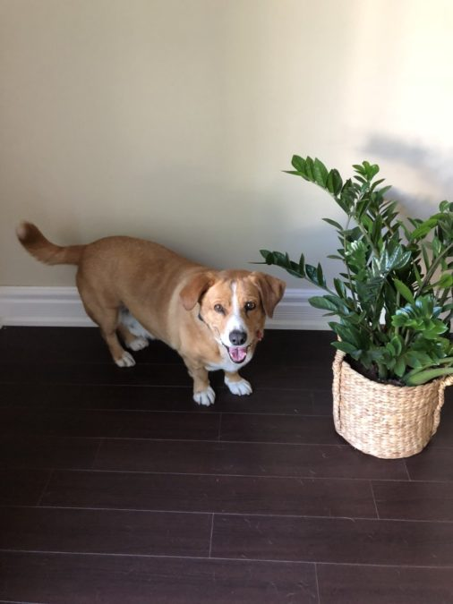 corgi standing beside a potted ZZ plant indoors on wooden floor
