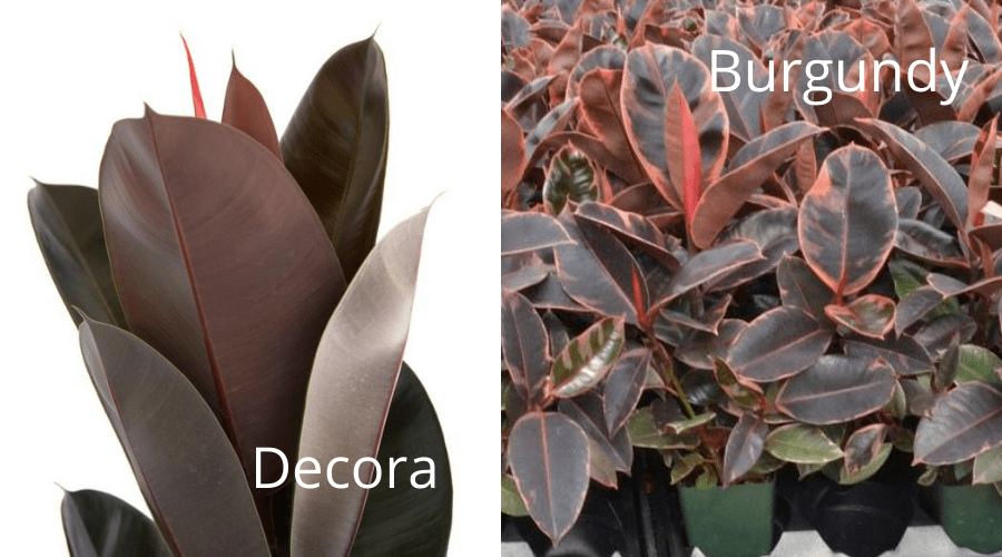 ficus elastica rubber plant tree in decora and burgundy varieties