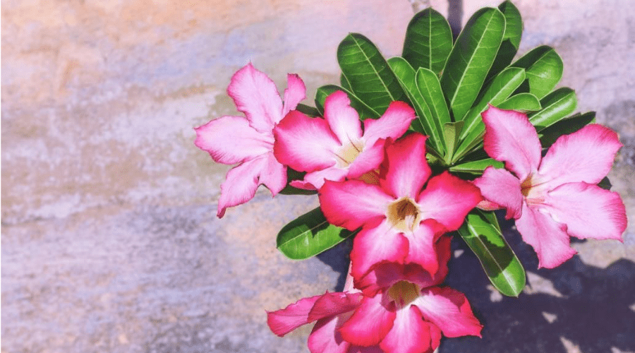 a blooming desert roase rare houseplant from above on concrete flooring
