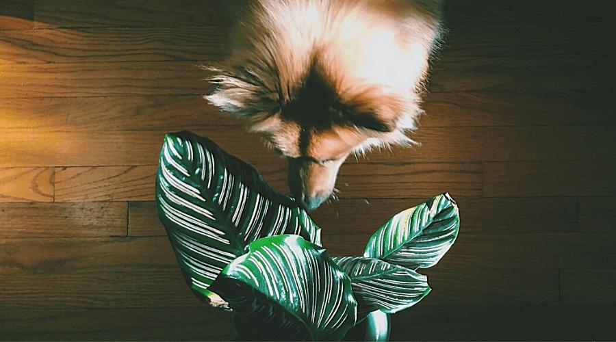 puppy sniffs mature prayer plant pet friendly indoor plants