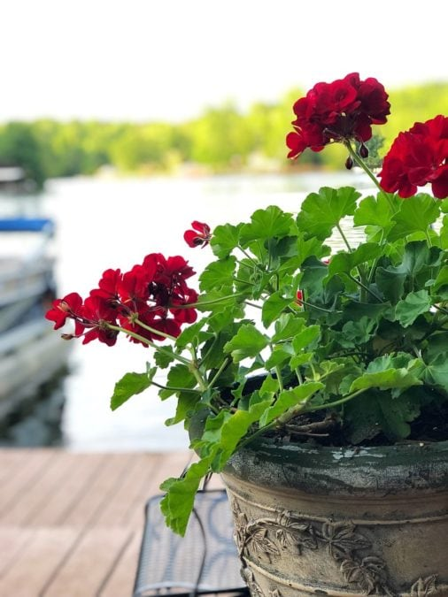 geraniums in a large pot growing on a front porch outdoors