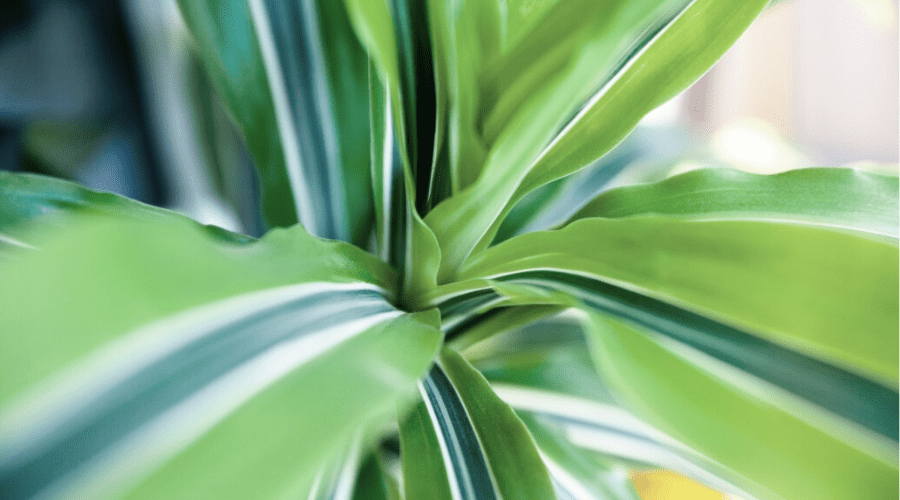 dracaena foliage closeup of striped striated leaves