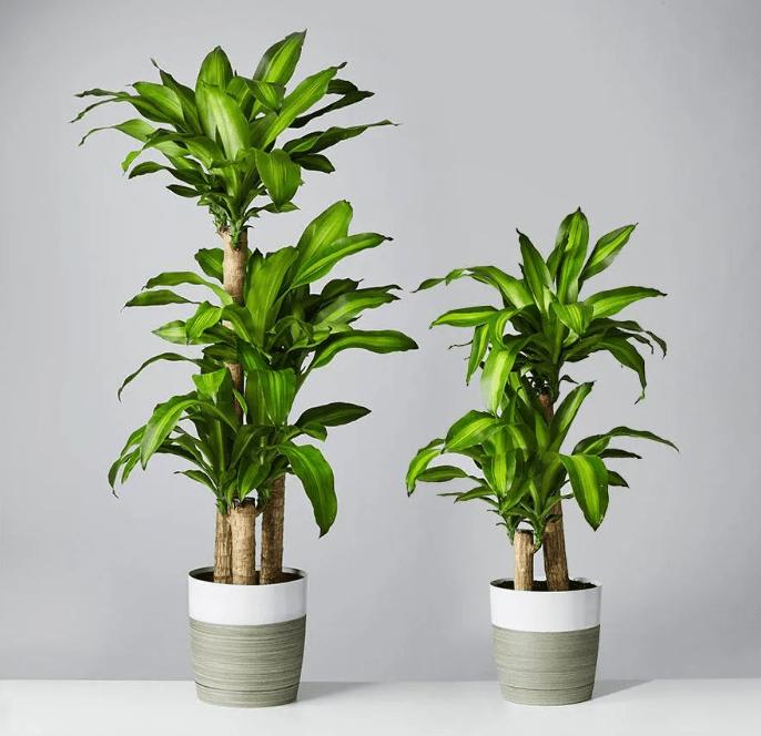Buy Dracaena Mass Cane at Plants.com