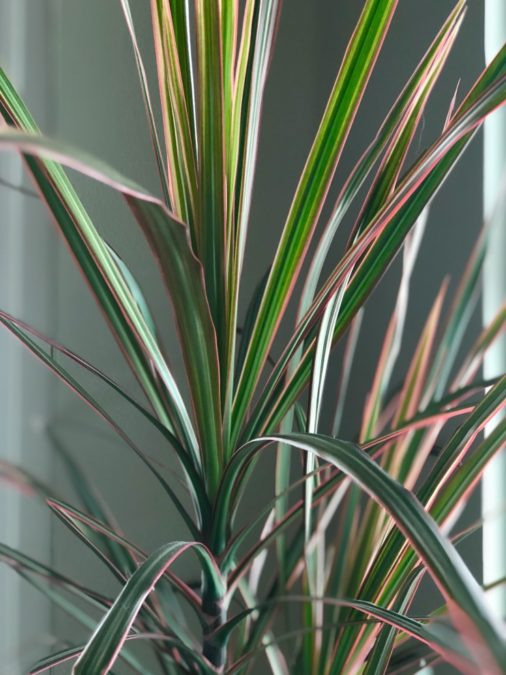 dracaena reflexa variegata janet craig pink white and green indoors mature