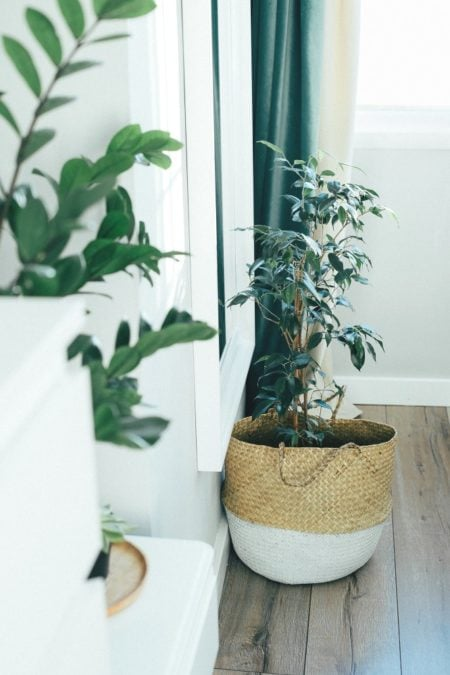 weeping fig ficus benjamina indoor tree air purifying houseplant in woven basket planter