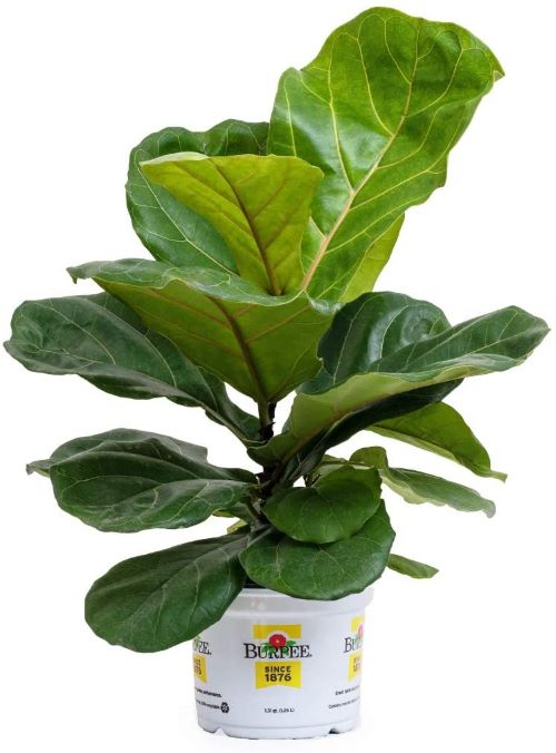Fiddle Leaf Fig