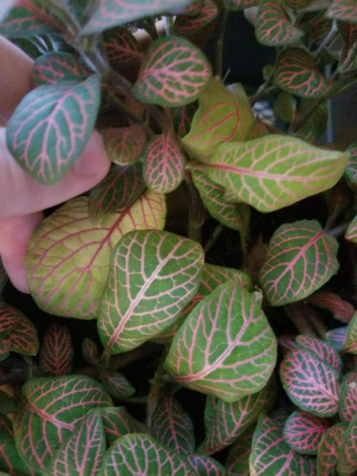 yellowing leaves of fittonia pink veins growth problems bleaching