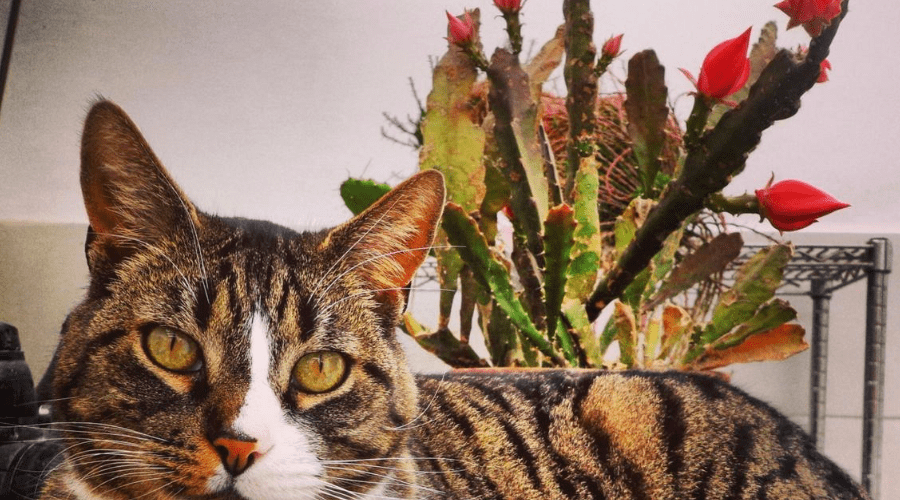 housecat lying in front of a mature blooming desert cactus christmas cacti