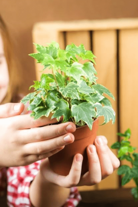 healthy small potted ivy in child's hands indoors