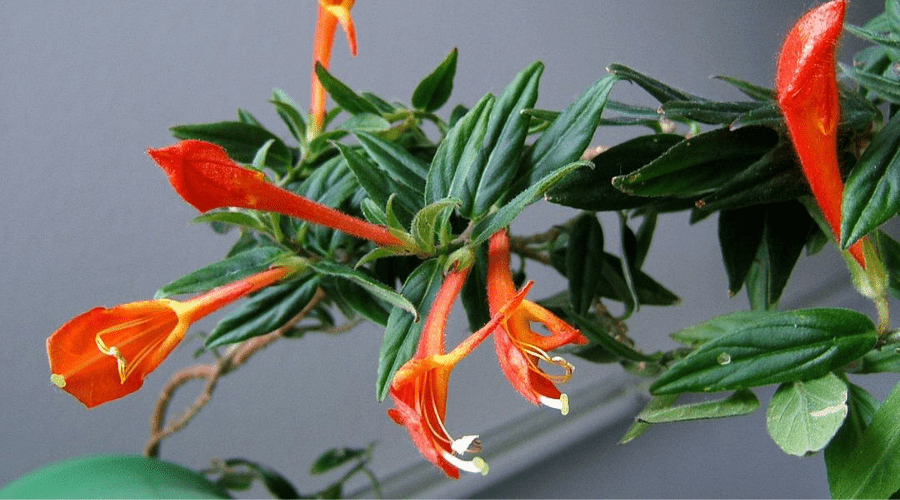 a goldfish plant in bloom indoors