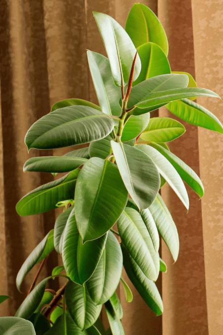 a healthy ficus elastica robusta rubber plant indoors
