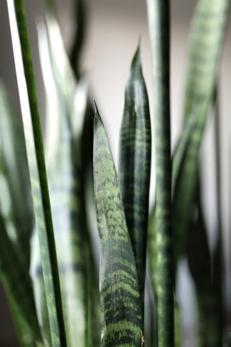 Picture of Sansevieria spp. also known as a Snake Plant