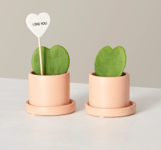Buy potted live Hoya Heart Succulents from TheSill.com