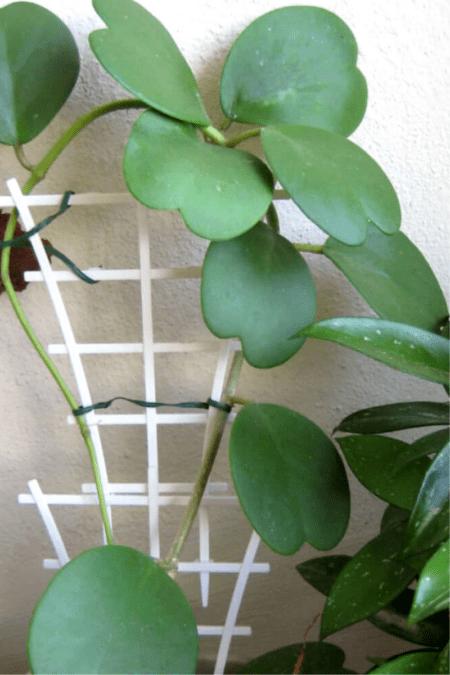 mature sweetheart plant climbing trellis indoors