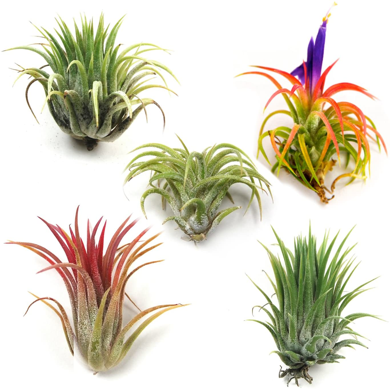 5 Ionantha Mexican Air Plants