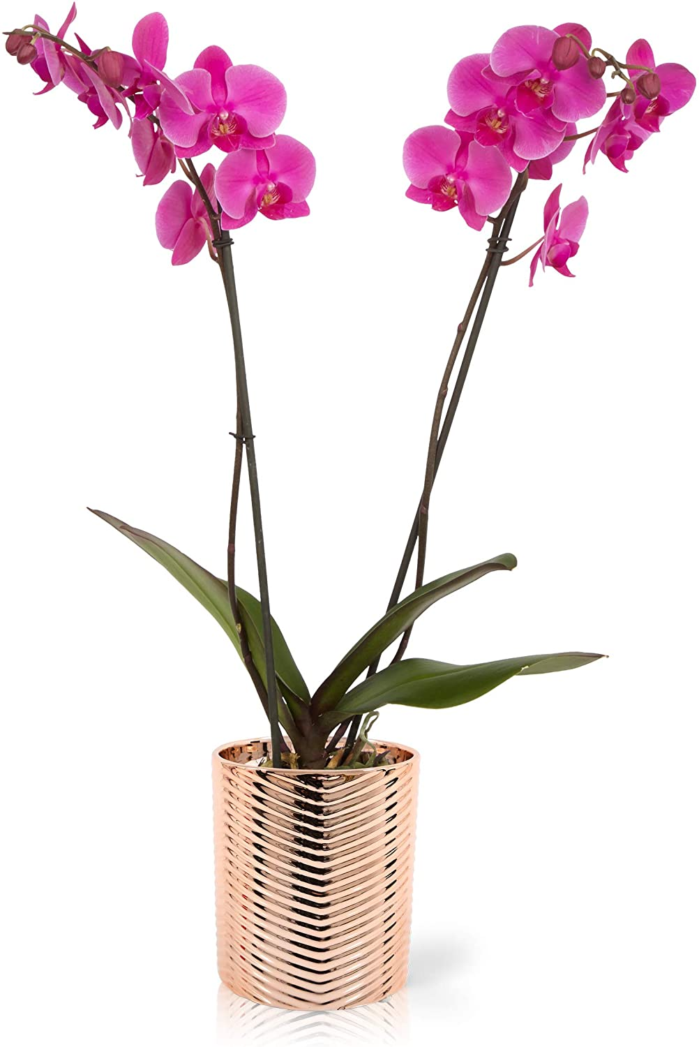 Color Orchids Live Blooming Double Stem