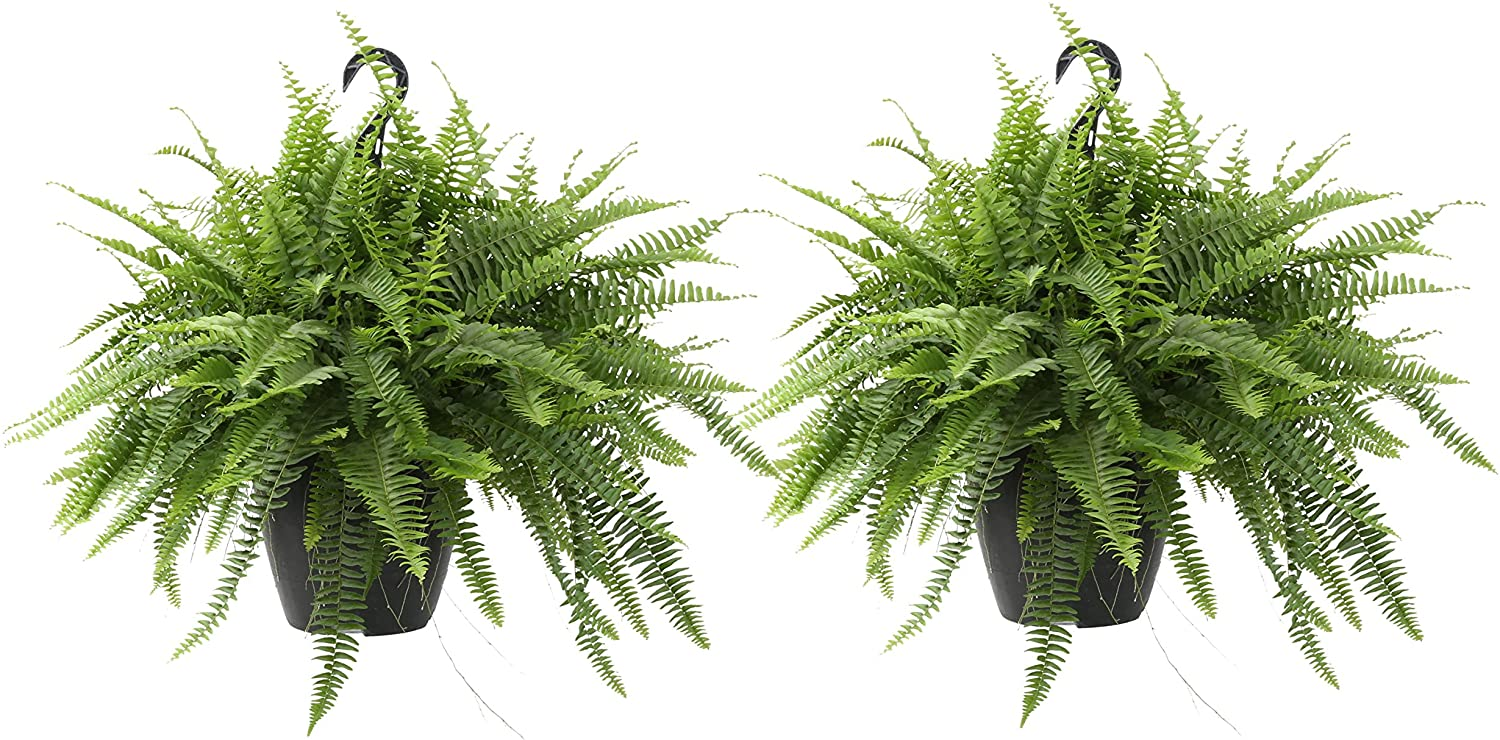 Costa Farms Live Boston Fern Hanging Basket