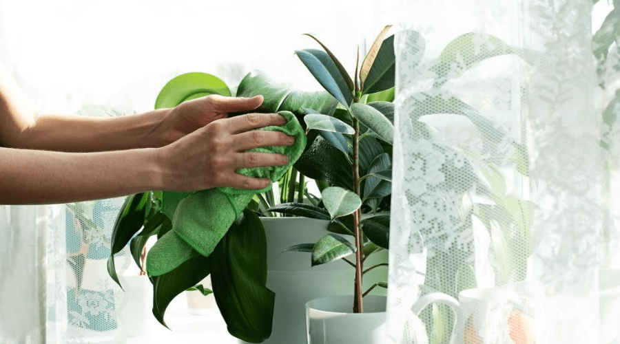 houseplants on windowsill in filtered sunlight with curtains wiping dust from leaves