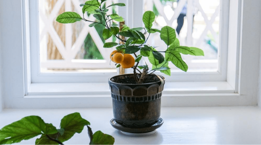 indoor citrus tree best trees 2020 reviews