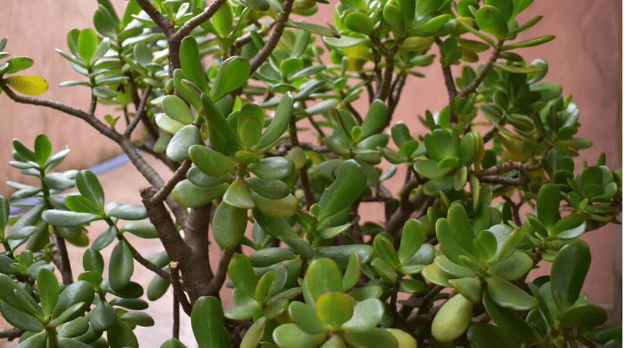 crassula ovata jade plant money tree closeup