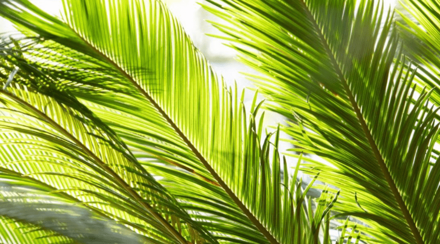 kentia palm thatch variety foliage closeup indoors near window